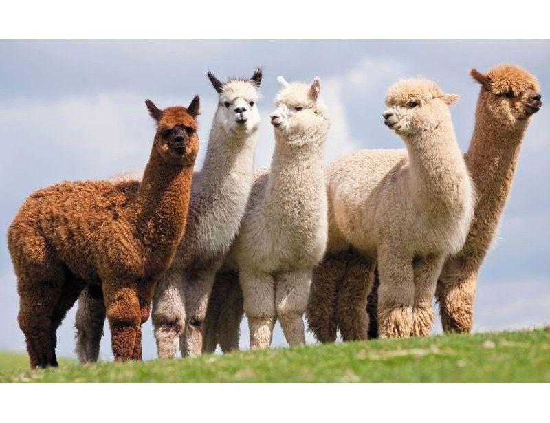 Alpakų ūkis Trakuose